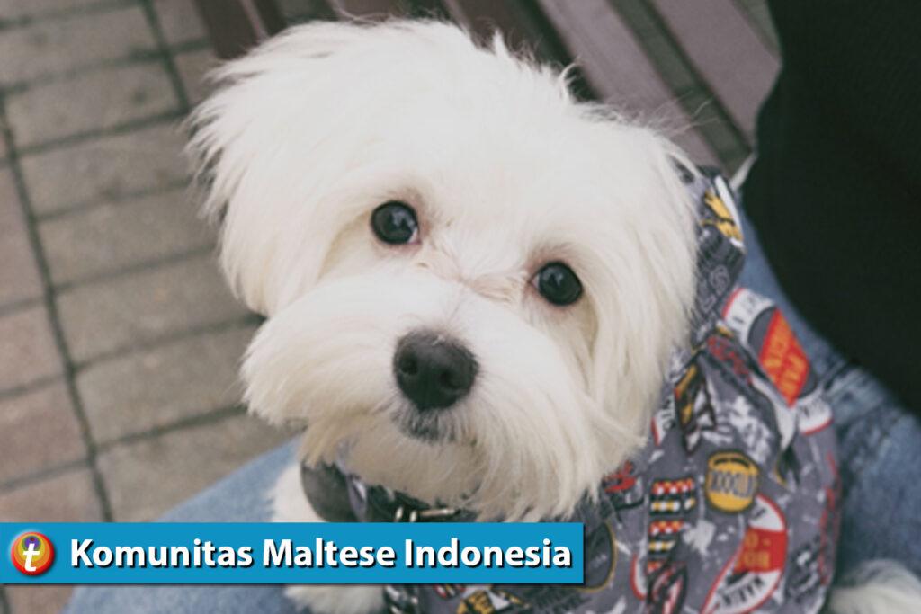 tikum desktop komunitas animal lover maltese 2