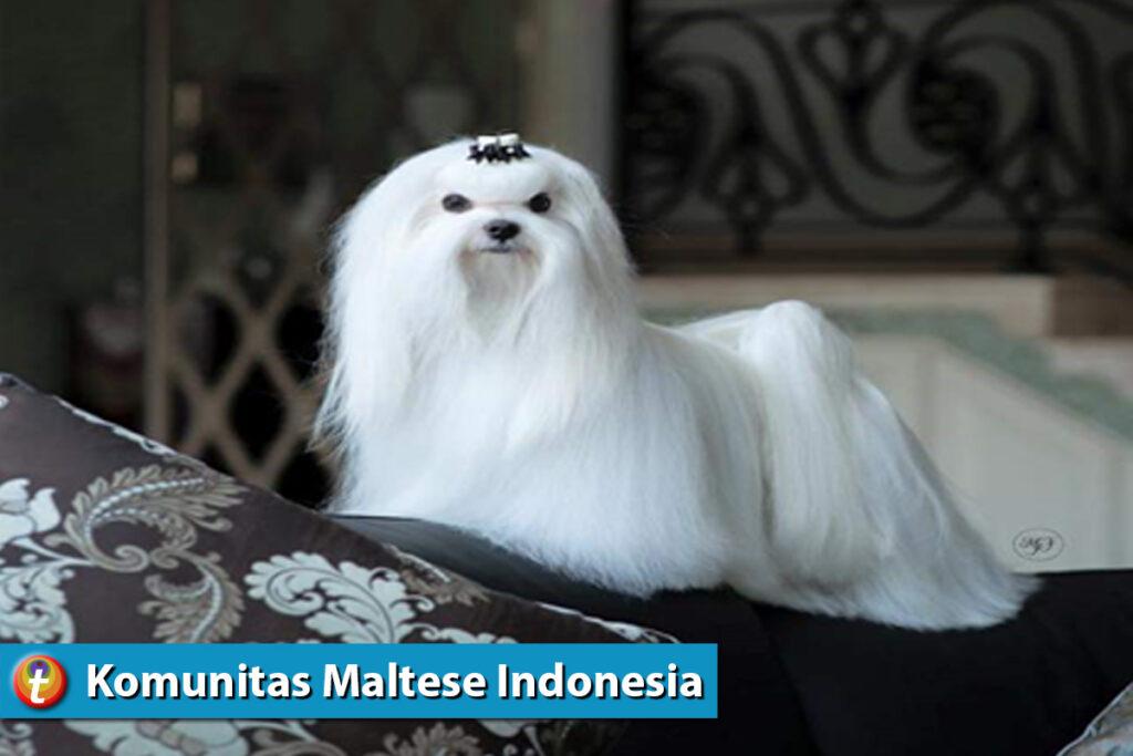 tikum desktop komunitas animal lover maltese 5